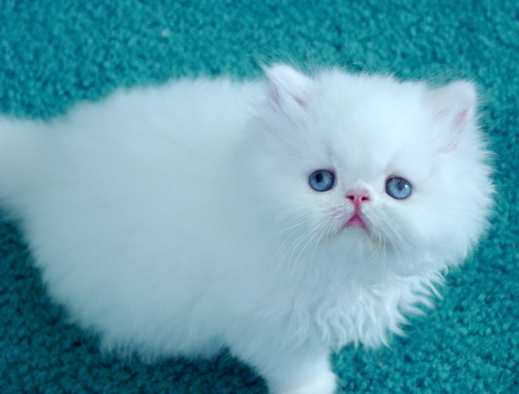 Angel Eyes For Persian Cats